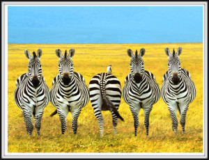 Zebra Dare to be Different pic sm w-frame